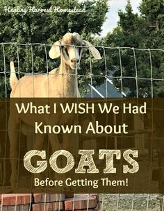 What everyone needs to know about getting goats. What you should know before you get goats. Things I wish I had known before getting our goats. Schedule