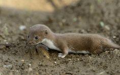 Baby Mink - super cute
