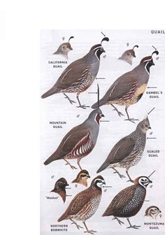 New World Quail Family Odontophoridae - American Birds Quail Hunting, Hunting Dogs, Turkey Hunting, Women Hunting, Waterfowl Hunting, Archery Hunting, Farm Animals, Animals And Pets, Ave Tattoo