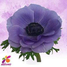 nemones Lavander Center Fresh Cut flower.  Features:  ✿ 10 Stems Anemones 40-45cm pack 120 stems ✿ Each stem has a minimum of 1 bloom; some stems may have more than one bloom ✿ Anemones may come in with distinctive Black centers; as the flower opens this center color will fade out. ✿ Anemones are a top-heavy flower and their stems have a natural tendency to bend. In order to achieve an upright straight stem, you may need to wire the stem. Lavender Flowers, All Flowers, Bridal Flowers, Fresh Flowers, Bridal Bouquets, Bulk Flowers Online, Diy Wedding, Wedding Gifts, Delphinium