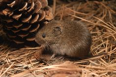 Bad critter!! The vole may seem cute and cuddly in this picture, but boy can they wreak some havoc!  2 of these got into our greenhouse this winter and destroyed our entire stock of 1 gallon Burning Bush.