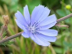 chicory, an incredible and edible plant