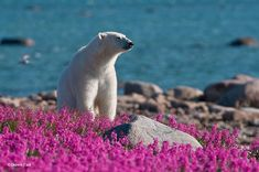 Even though we are used to think of polar bears in their cold environment, they also enjoy summer and the flowers that come with it. Dennis Fast, a Canadian photographer, discovered a polar bear playing with small purple flowers in Canada. Pictures Of Polar Bears, Sublime Creature, White Polar Bear, Hudson Bay, Arctic Fox, Rare Photos, Churchill, Cute Animals, Bears