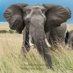 Angry mama! An elephant cow reacts aggressively to an intrusion into her space. #elephant #angry  #cow #maasaimara #kenya #africa #magicalkenya #iamnikonsa #nikontop #nikonmea #WildlifePlanet #wildphotossafaris #jointheherd #naturephotoportal #igscwildlife #ig_africa #photosafari #photooftheday