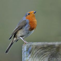 Robin (Erithacus rubecula) by Ita Martin on 500px