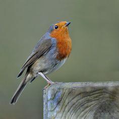Robin (Erithacus rubecula) by Ita Martin on 500px