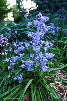 Hyacinthoides hispanica in blue