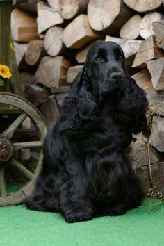 Black Cocker Spaniel, English Cocker Spaniel, Spaniel Breeds, Dog Breeds, Black Cooker, Animals Beautiful, Cute Animals, Field Spaniel, Psy