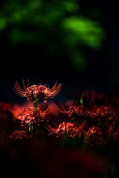 Photograph 曼珠沙華/red spider lily by Takao Tsushima on Green Flowers, Green Plants, Colorful Flowers, Beautiful Flowers, Lily Wallpaper, Flower Wallpaper, Red Spider Lily, Lush Beauty, Red Lily