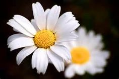 daisies - Bing Images