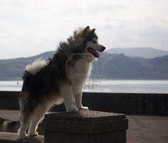 Alaskan Malamute. Similar to a husky.