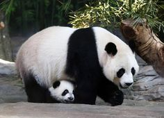 Giant pandas can only take care of one cub at a time, so after the triplets were born in July the zoo helped care for them.