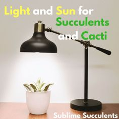Proper lighting is one of the most important aspects of succulents care. Learn about sunlight, artificial light, and everthing else here! Flowering Succulents, Growing Succulents, Cacti And Succulents, Succulent Planter Diy, Succulent Care, Indoor Planters, Diy Planters, Succulent Species, Sun Loving Plants