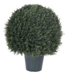 UV Pond Cypress Round Topiary in Pot