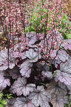 Heuchera 'Sugar Plum' daisychainplantnursery.co.uk