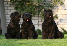 Black Russian Terrier o Terrier Ruso Negro - Razas de perros ...