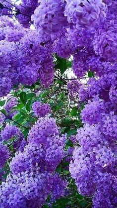 Exotic Flowers, Amazing Flowers, Purple Flowers, Beautiful Flowers, Purple Lilac, Lilac Bushes, Flowering Trees, Flower Wallpaper, Dream Garden