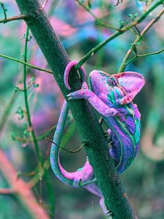 [This is the article with the video I told you about, of the chameleon changing color.  By the way, I don't think the color in this photo is genuine.  See the article for the same picture in real colors.] How a Chameleon Changes Color