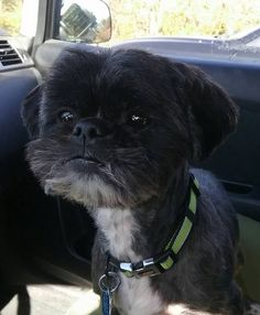 Welcome to STFBR rescue homepage - Shih Tzus & Furbabies Pet Finder, Toy Dog Breeds, Waiting For Her, Shih Tzus, Foster Parenting, Animal Rescue, Fur Babies, Jackson, Adoption