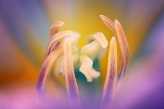 "Pastel Tulip Photograph - Matted Wall Art, Spring Colors, Fine Art Photography. Title: Pastel Tulip Photographer: Megan Campbell Sizes: 8x10, 8x12, 11x14, 12x18, 16x20 This listing is for one (1) print of my photograph ""Pastel Tulip"" printed onto Canon pro-lustre photo paper. You have the option of purchasing the photograph as-is or matted with Bainbridge Bright White acid free matboard. Matting adds a finishing touch and an extra layer of protection to prints. All prints come signed on…"