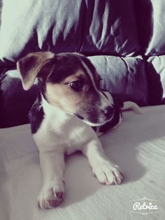 Jack russel puppy ,this looks like my Gidget when she was a puppy