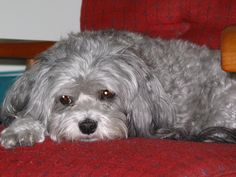Belle, Malti-Poo, 2004 ... by JhC #Dog #Pet