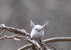 Le Shimaenaga? Oui, c'est un oiseau qui vient tout droit du paradis!