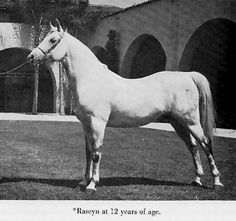 Raseyn-at12.jpg 405×380 pixels Foaled 1923 AHR #597 GSB #776 Grey Stallion Bred by Crabbet Arabian Stud Imported by WK Kellogg in 1926