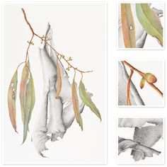 Eucalyptus sp. (Eucalyptus bark and leaves) | Sharon Field | Botanical Artist, Inspiration for Botanical Sketchbooks for Art Students at CAPI::: Create Art Portfolio Ideas milliande.com, Art School Portfolio Work, , Botanical, Flowers, Plants, Leaves,Stem Seed, Nature, Sketching, Herbarium