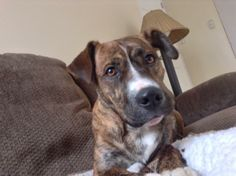 RALLY...PITTSBURGH, PA...Please note that our dogs are only available to those who reside in the western PA/northwestern WV area.Rally is a 1-2 year old Mountain Cur mix who came from a high volume Ohio animal control facility. He is now working on his manners and...