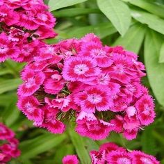 200+ Dianthus Sweet William Mix Flower Seeds ,Under The Sun Seeds   #Dianthus