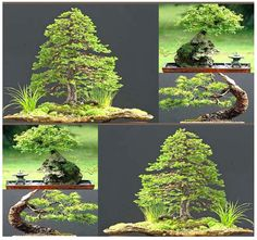MySeeds.Co - Jezo Spruce Picea jezoensis Tree Seeds - PERFECT JAPANESE BONSAI - Extremely Cold Hardy ZONE 2 - 7, $1.00 (http://www.myseeds.co/jezo-spruce-picea-jezoensis-tree-seeds-perfect-japanese-bonsai-extremely-cold-hardy-zone-2-7/)