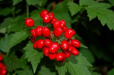 "I frequently encounter two kinds of baneberry (Actaea) on my walks through shady wooded areas of New England (U.S.): red baneberry (picture) and white. The white type is also called ""doll's eyes,"" because its berry is white with a black ""pupil"" in the middle. Learn more about this wild plant here: http://landscaping.about.com/od/wildflowers/ss/White-Baneberry-All-About-Dolls-Eyes-Plants-Red-Baneberry-Cohosh.htm"
