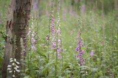 common foxglove (digitalis)