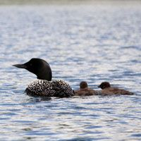 The Boundary Waters Canoe Area Wilderness is the place to see loons with their chicks.