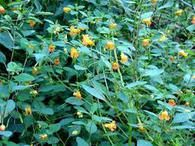 Jewel Weed For Sale - The Ultimate Dish For Hummingbirds