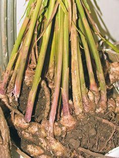 Kořeny se rozrůstají do šířky Green Onions Growing, Growing Greens, Planting Vegetables, Vegetable Garden, Flower Pots, Flowers, Private Garden, Ikebana, Indoor Garden