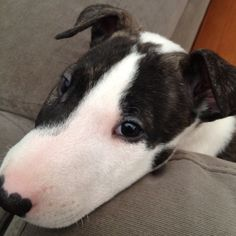 How could you say no to this face? I love Bull Terriers and someday I really want to get one.