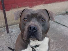 SAFE --- URGENT - Brooklyn Center   MASON - A0993799   MALE, BLUE, STAFFORDSHIRE MIX, 2 yrs  STRAY - STRAY WAIT, NO HOLD Reason STRAY   Intake condition NONE Intake Date 03/12/2014, From NY 11436, DueOut Date 03/15/2014  https://www.facebook.com/photo.php?fbid=771686982844183&set=a.771686946177520.1073743049.152876678058553&type=3&theater