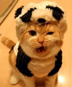 cat in a panda suit. costume. animal humor. orange tabby. kitty. angry cat. funny face. stink eye. animals dressed as other animals.