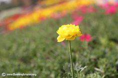 Persian buttercup (4) Flower Colors, Colorful Flowers, Persian Buttercup, Flower Pictures, Red And White, Plants, Pink, Image, Flower Photos