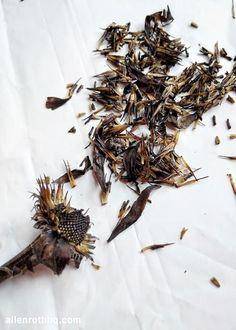 scrape all the seeds off the flowerhead - harvesting echinacea (coneflower) seeds