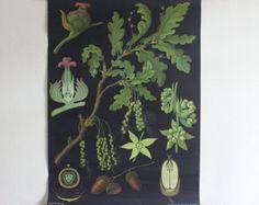Vintage school pull down chart map Oak tree biology Jung Koch Quentell German print