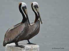 This photo is brought to you by the pelican duo. They'll be here all week! #BigBirds