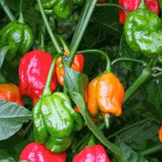 Cool article that describes different chile pepper varieties by color, heat level and plant size.