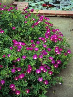 Winecup / Purple poppy-mallow: Sun or Part Shade. Flowers attract bees and butterflies. Spreading habit makes it good for ground cover, trailing over walls, or for hanging baskets. Shade Garden, Garden Plants, Flowering Plants, House Plants, Texas Plants, Purple Poppies, Texas Gardening, Organic Gardening, Wildflower Seeds