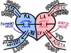 Nursing School Memories:  A blood pathway sketch.  This is always good to revisit and refresh!
