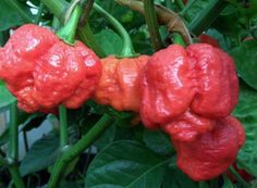 trinidad moruga scorpion peppers - contenders for hottest peppers on earth