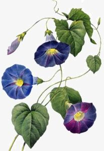 Purple morning glory morning glory, Purple, Morning Glory, Morning PNG Image and Clipart Watercolor Flowers, Watercolor Paintings, Illustrations, Illustration Art, Chinese Painting Flowers, Morning Glory Flowers, Watercolor Painting Techniques, Plant Images, Flower Aesthetic
