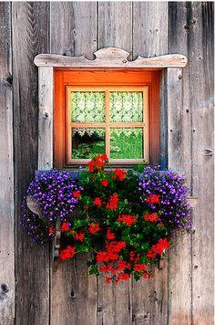purple lobelia and red ivy geraniums in a tiny window